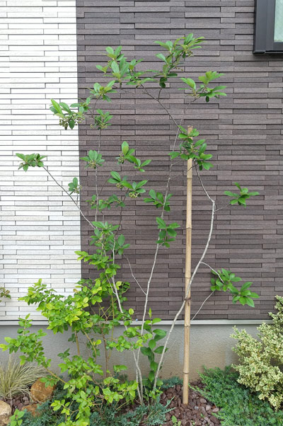 低木ながら自然樹形を楽しめるアロニア