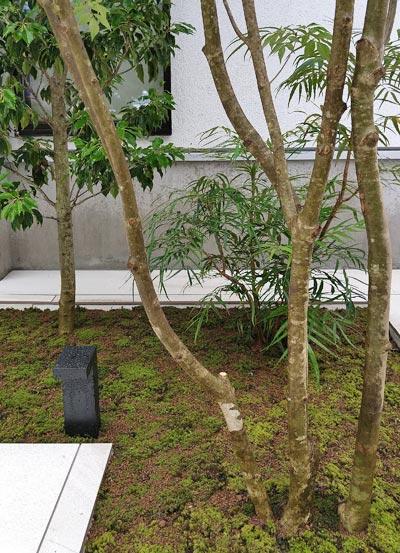幹の立ち上がりも自然なアオダモ