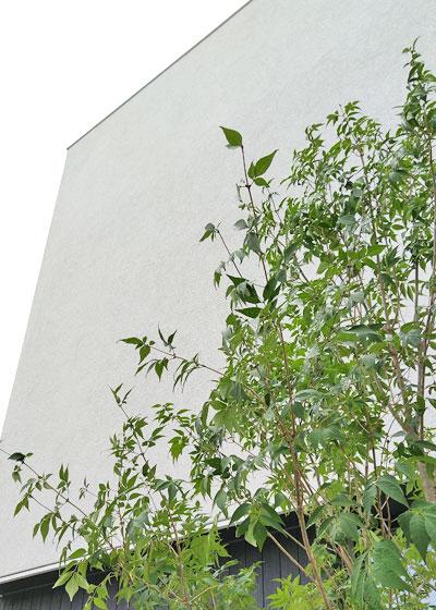 涼し気な葉が美しいアオダモ