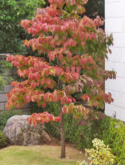 美しい紅葉を楽しむシンボルツリーに