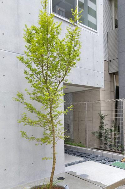 モダン建築のシンボルツリーとして