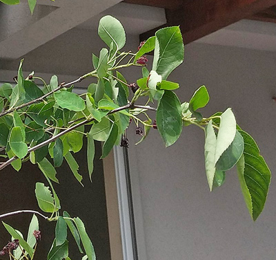 ジューンベリーの葉