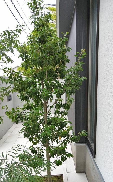 玄関窓を目隠しするシンボルツリー