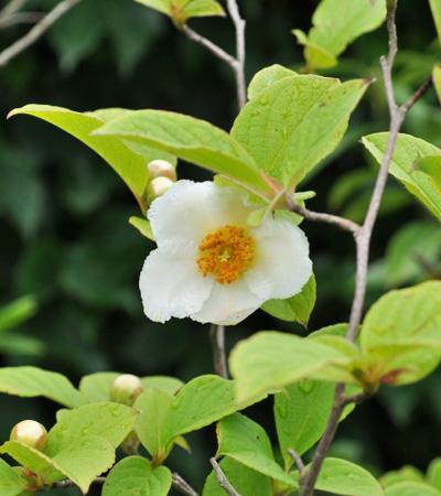 シャラノキの花