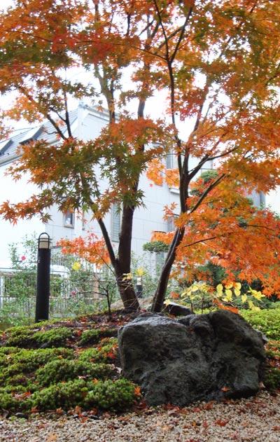 イロハモミジの紅葉:葛飾区O様邸