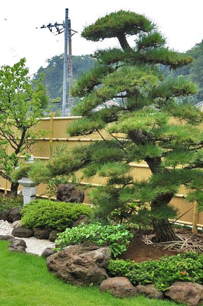 和風の庭の代名詞とも言える黒松