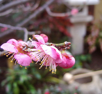 和庭に映える紅梅