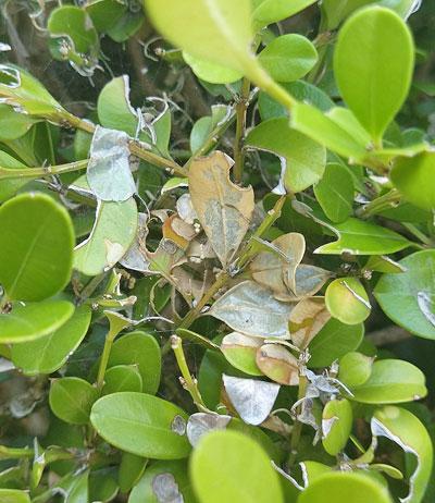 食害されたボックスウッドの葉