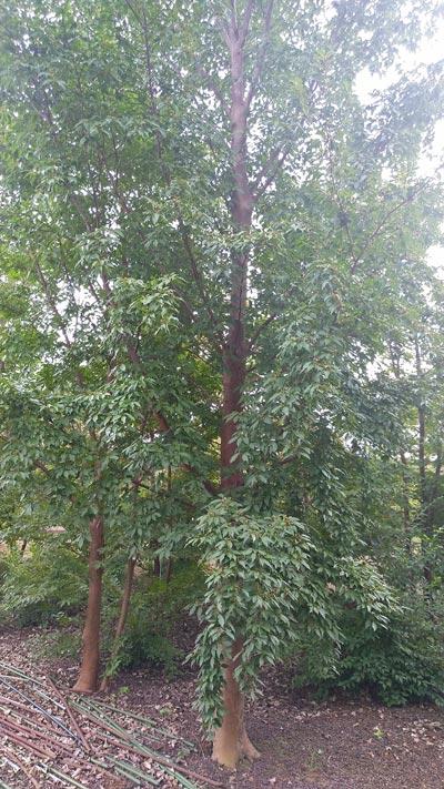 自然に成長した樹高8m超のヒメシャラ