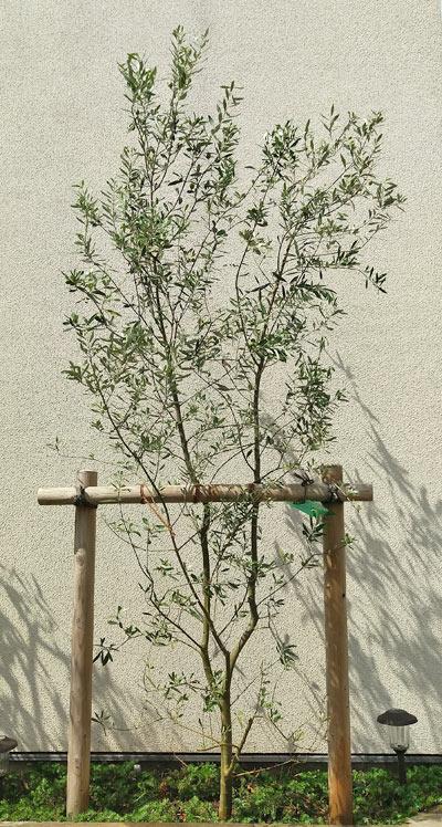 白壁を背景にしたシンボルツリーのオリーブ