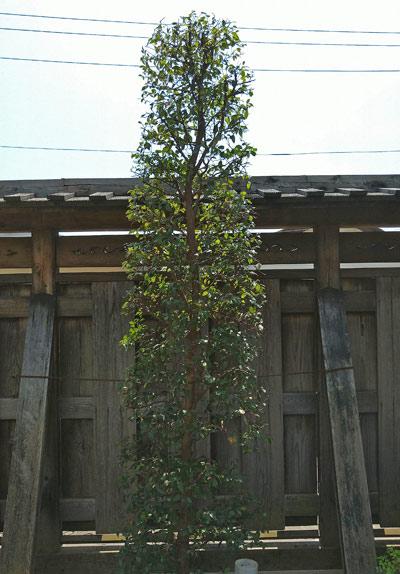 トキワマンサクを和風シンボルツリーとして