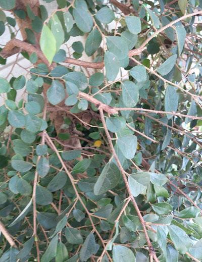 細さが特徴のトキワマンサクの枝