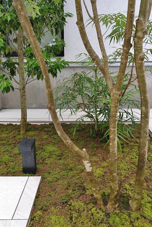 自然な幹の立ち上がりとスナゴケ
