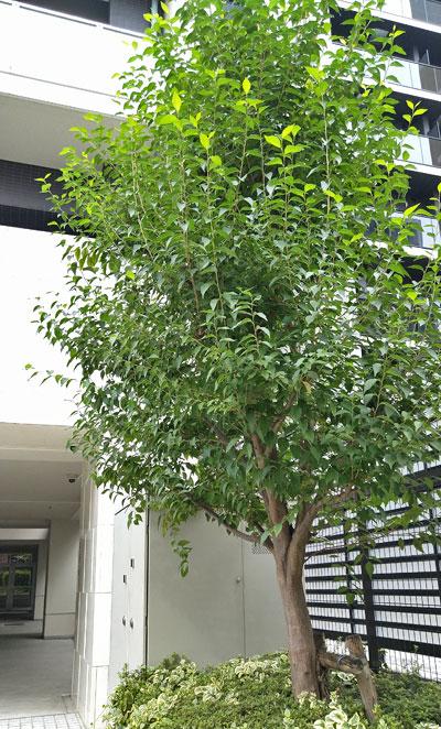 一本幹のエゴノキをシンボルツリーに