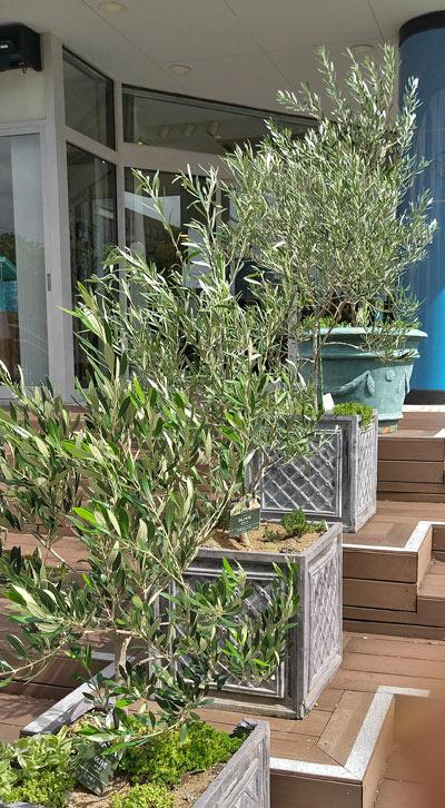 店先に並べられた鉢植えのオリーブ