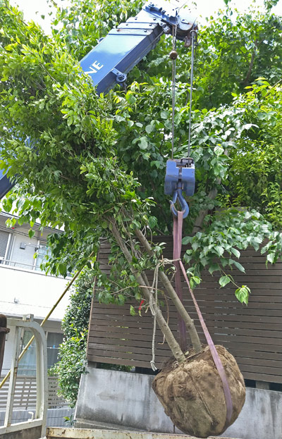 新規に植栽するソヨゴの株立ち
