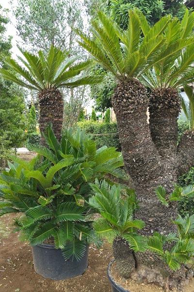 樹形も豊富なソテツ