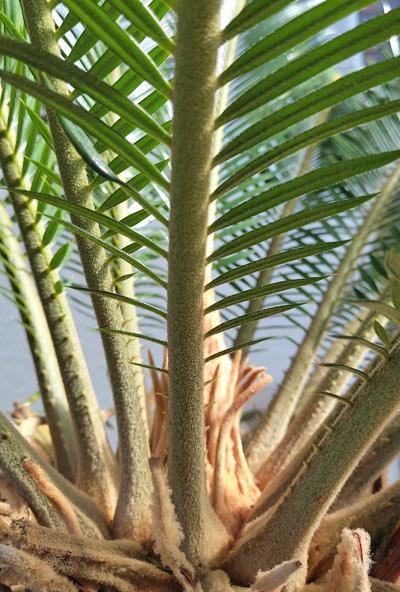 針の様に鋭利なソテツの葉