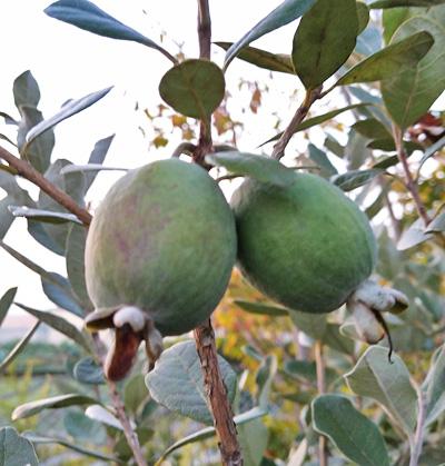 弊社ファームで果実を付けるフェイジョア