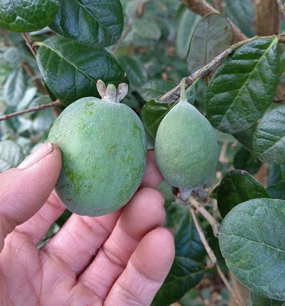 果実の大きさが不揃いな品種