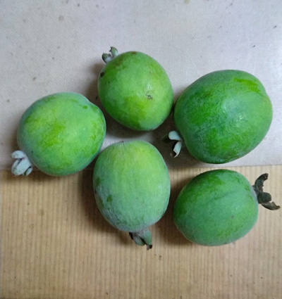 果実の大きさが揃いやすい木からの収穫