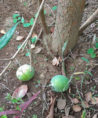 11月に入り落ち始めたフェイジョアの果実