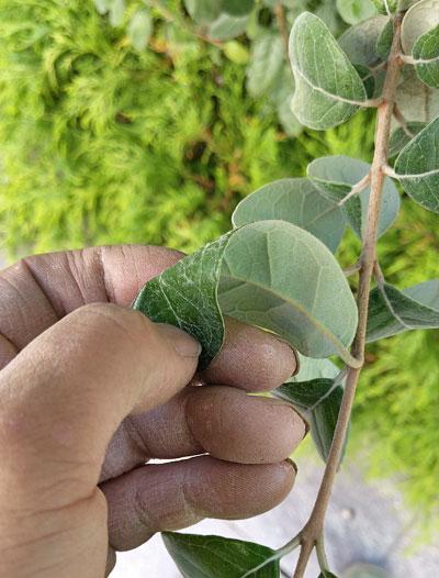 フェイジョアの葉:表裏で葉の色が異なる