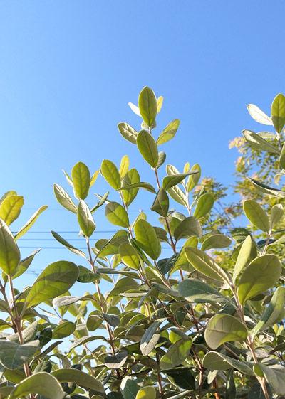 フェイジョアの木は日向を好む