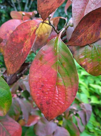 徐々に紅葉する葉:弊社ファームにて