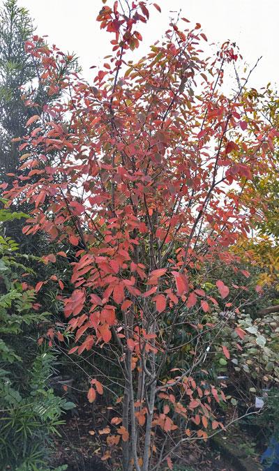 染まりきった紅葉を見せるジューンベリー