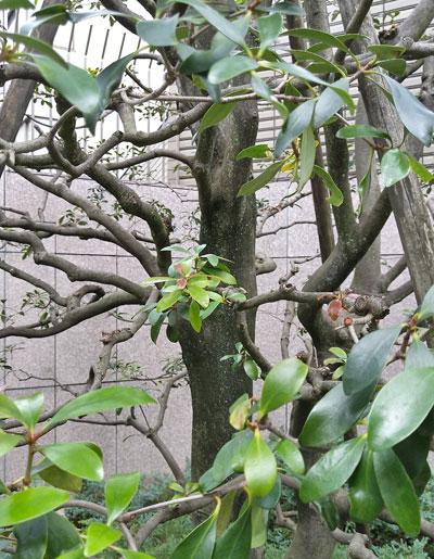 モッコクは実と枝模様を見せる様に