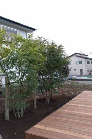 ウッドデッキ前へ植栽されたシマトネリコ