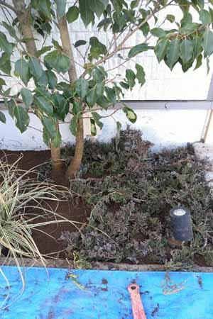 低木コニファーの植栽
