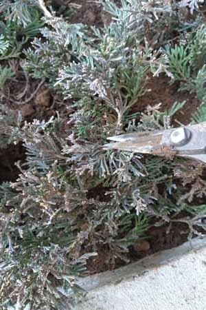 這性コニファーは植栽後に剪定を
