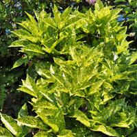 アオキの葉:写真は斑入り品種