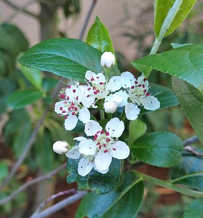黒実アロニアの花
