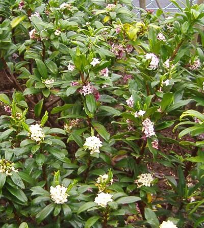 花の香りが名高い沈丁花