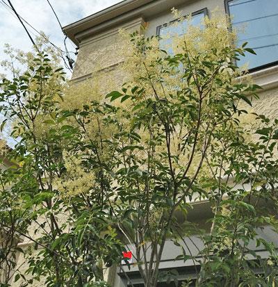 多くの花を咲かせたシマトネリコ