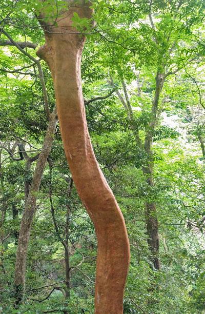 自生するヒメシャラの美しい幹