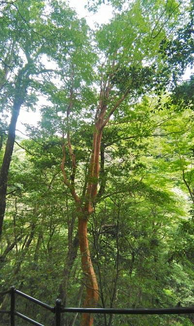 自生するヒメシャラの樹形