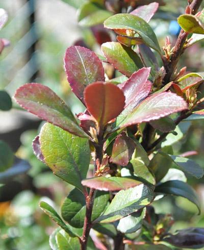 赤味を帯びるヒメシャリンバイの葉