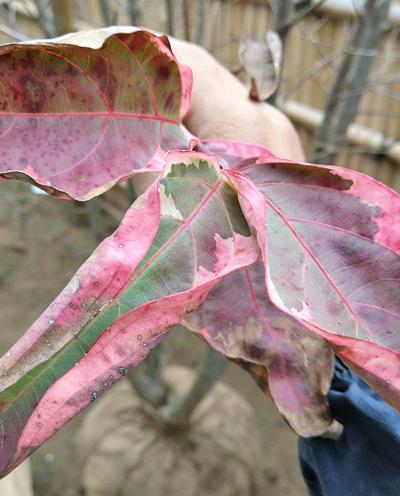 紅葉し始めるヤマボウシ