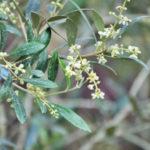実も楽しむオリーブの特徴と育て方・剪定方法-洋風の魅力溢れるシンボルツリーや鉢植えの植栽実例もご紹介