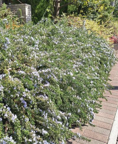 花壇を彩るローズマリー(半匍匐性)