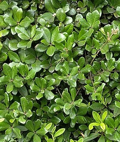 ウバメガシの葉