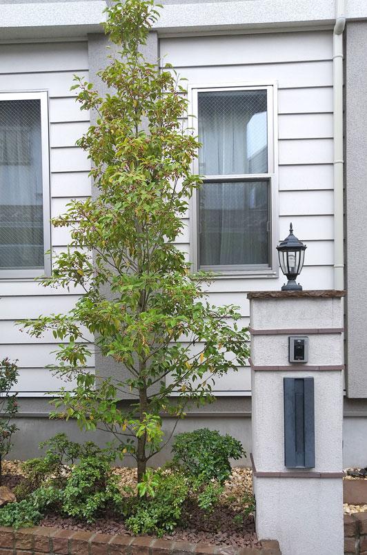 新たなシンボルツリーとなったソヨゴ