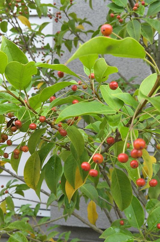 ソヨゴの赤い実で季節感を楽しむ