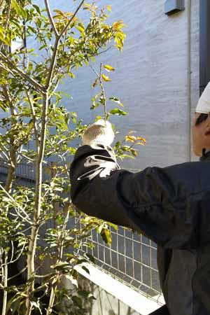 植えた庭木に初期剪定を施す