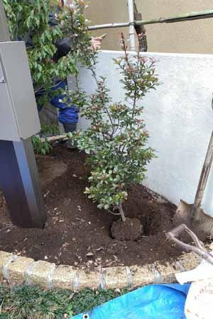 サブツリーのヒメシャリンバイ