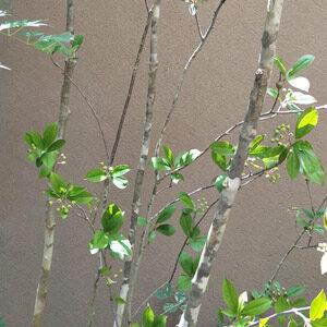 4種類に分かれる【株立ち樹形】を解説-ナチュラル感の魅力や代表的な庭木も紹介します
